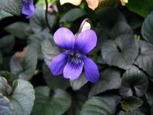 photo of a violet in a garden